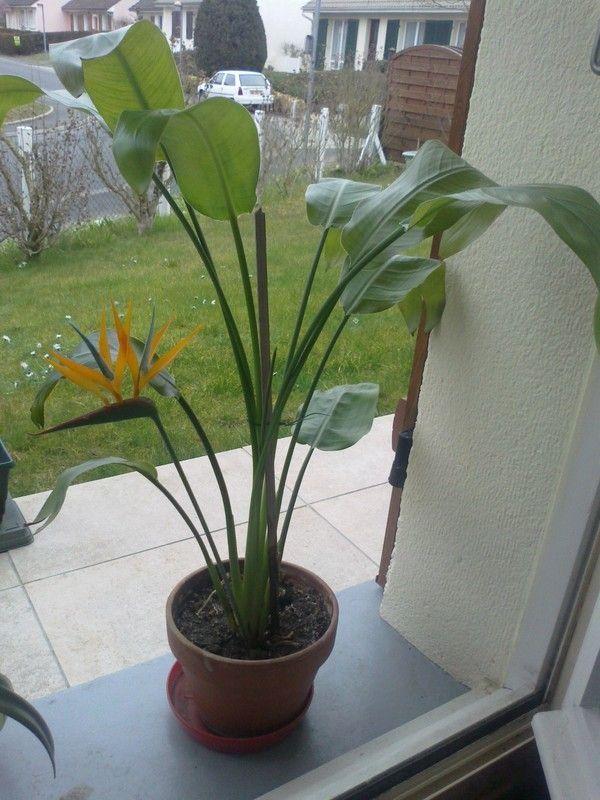 Jolie fleur oiseau de paradis for Plante oiseau de paradis