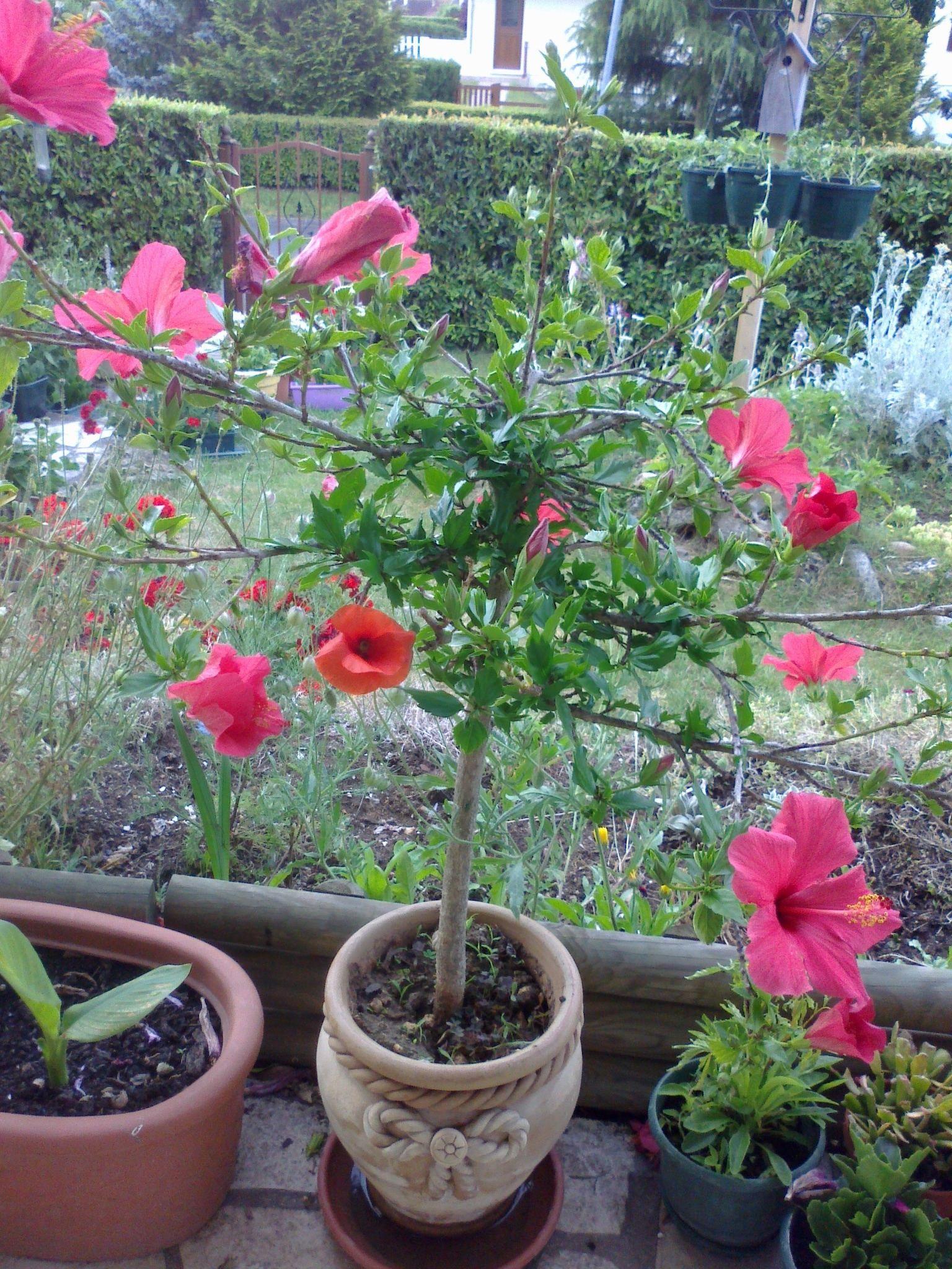 Astuces for Entretien hibiscus exterieur