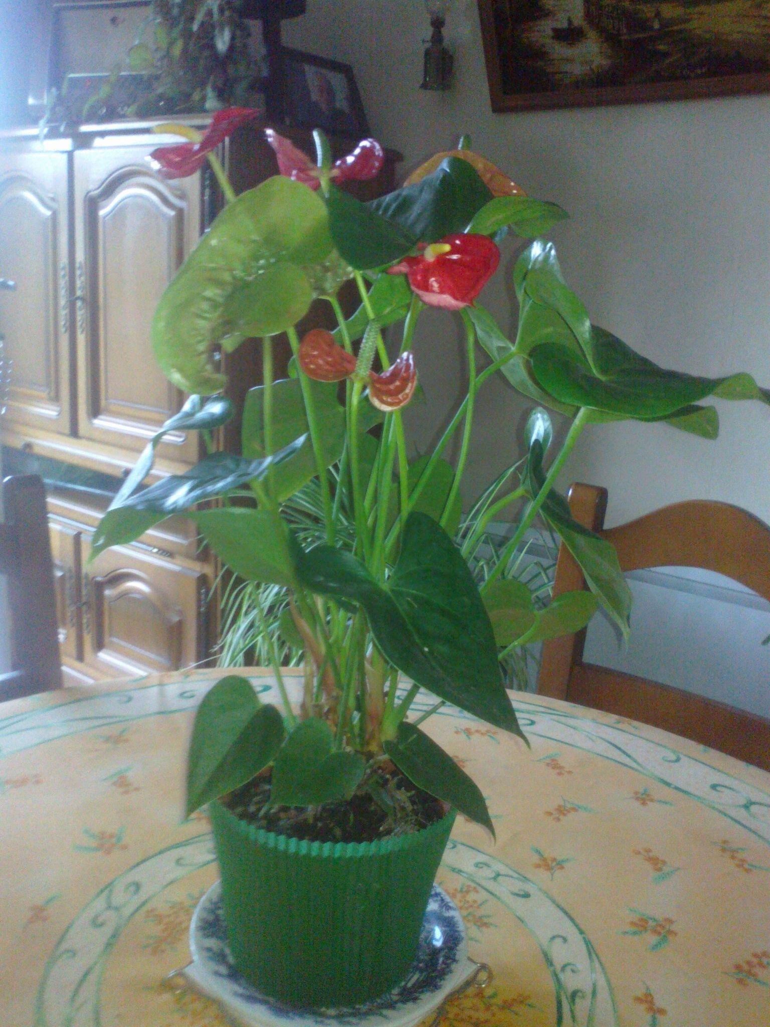 jolie fleur (anthurium )